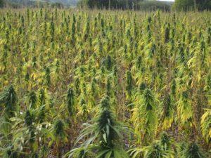 Hemp Field in Canada