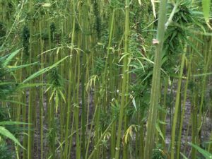 hemp fiber comes from the hemp stalk